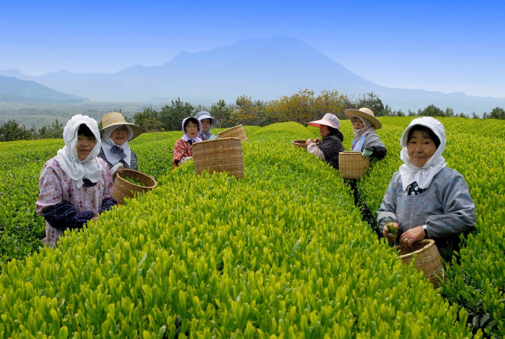 Выращивание зелёный чай 56