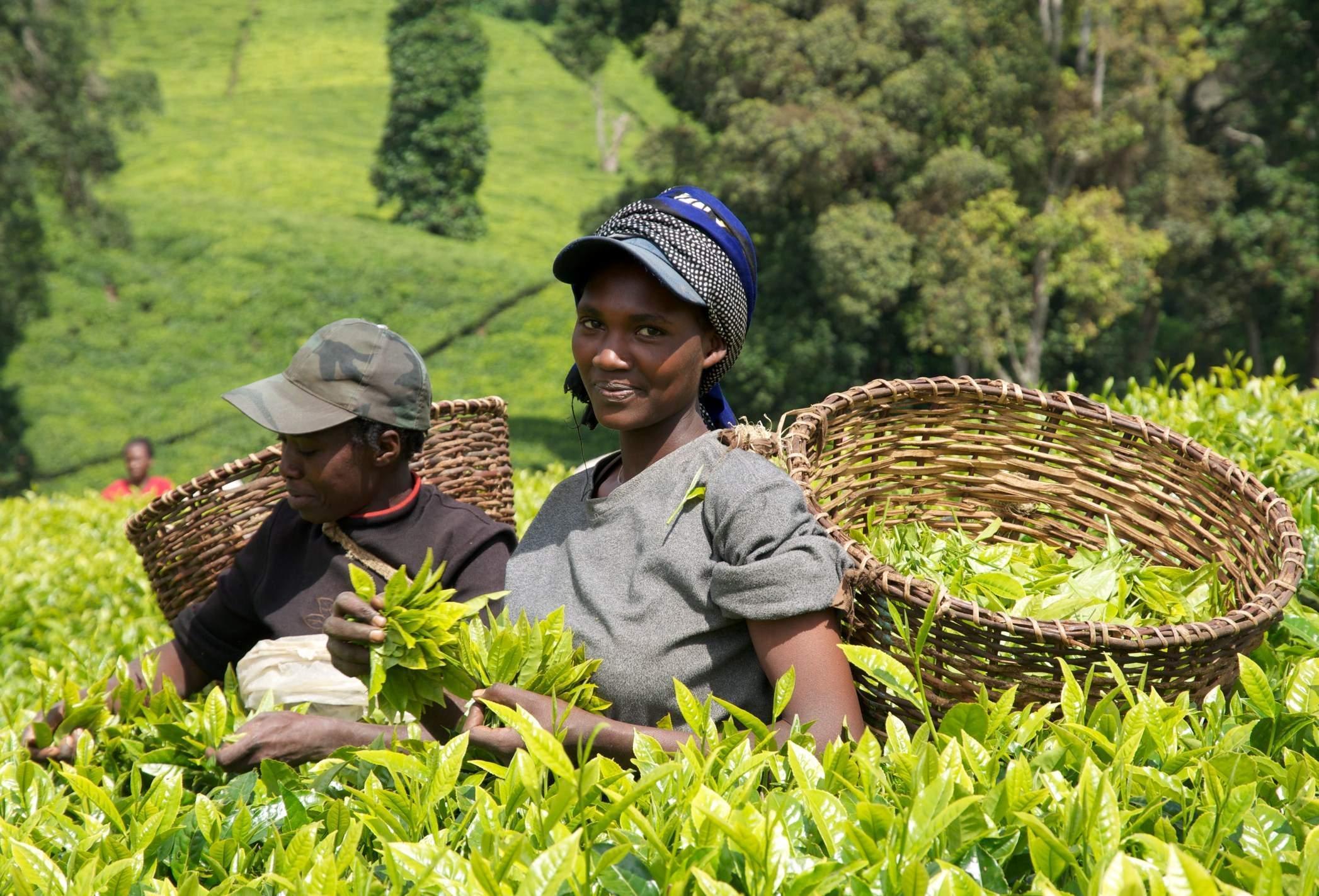 Кения собирается значительно нарастить производство чая