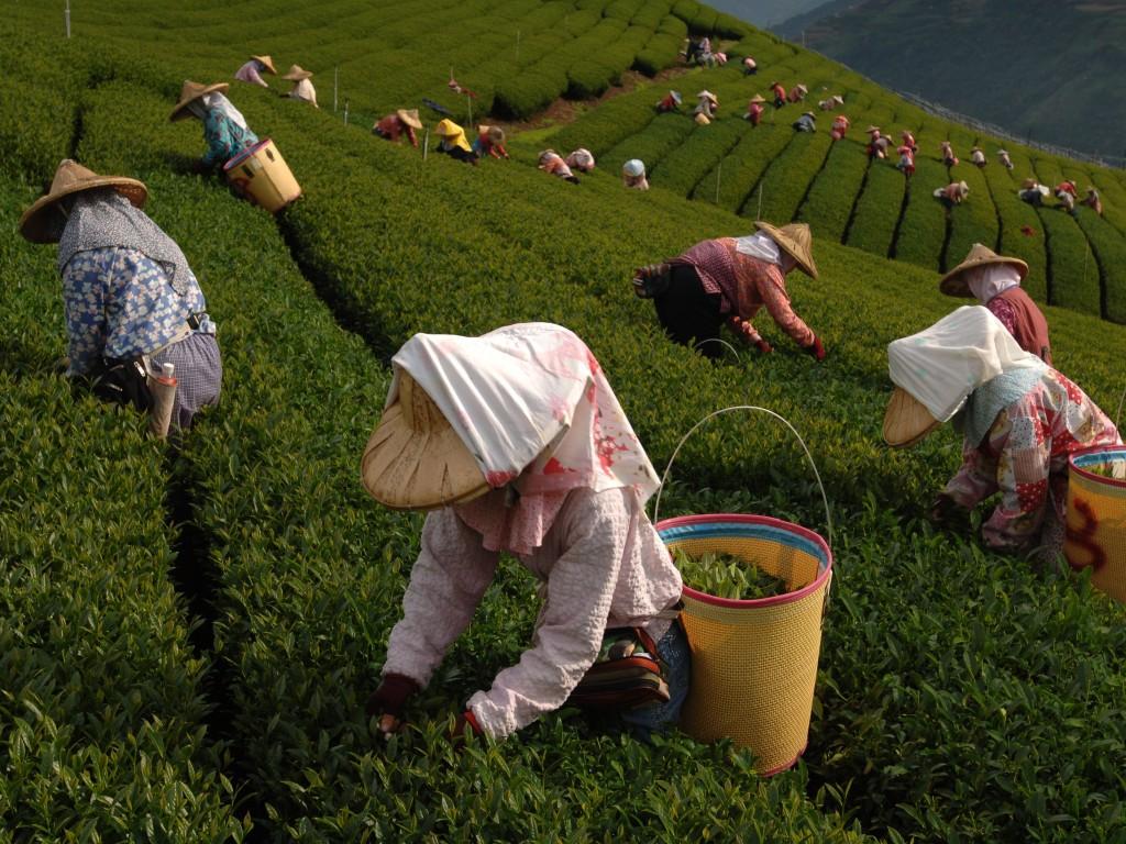 Выращивание зелёный чай 42