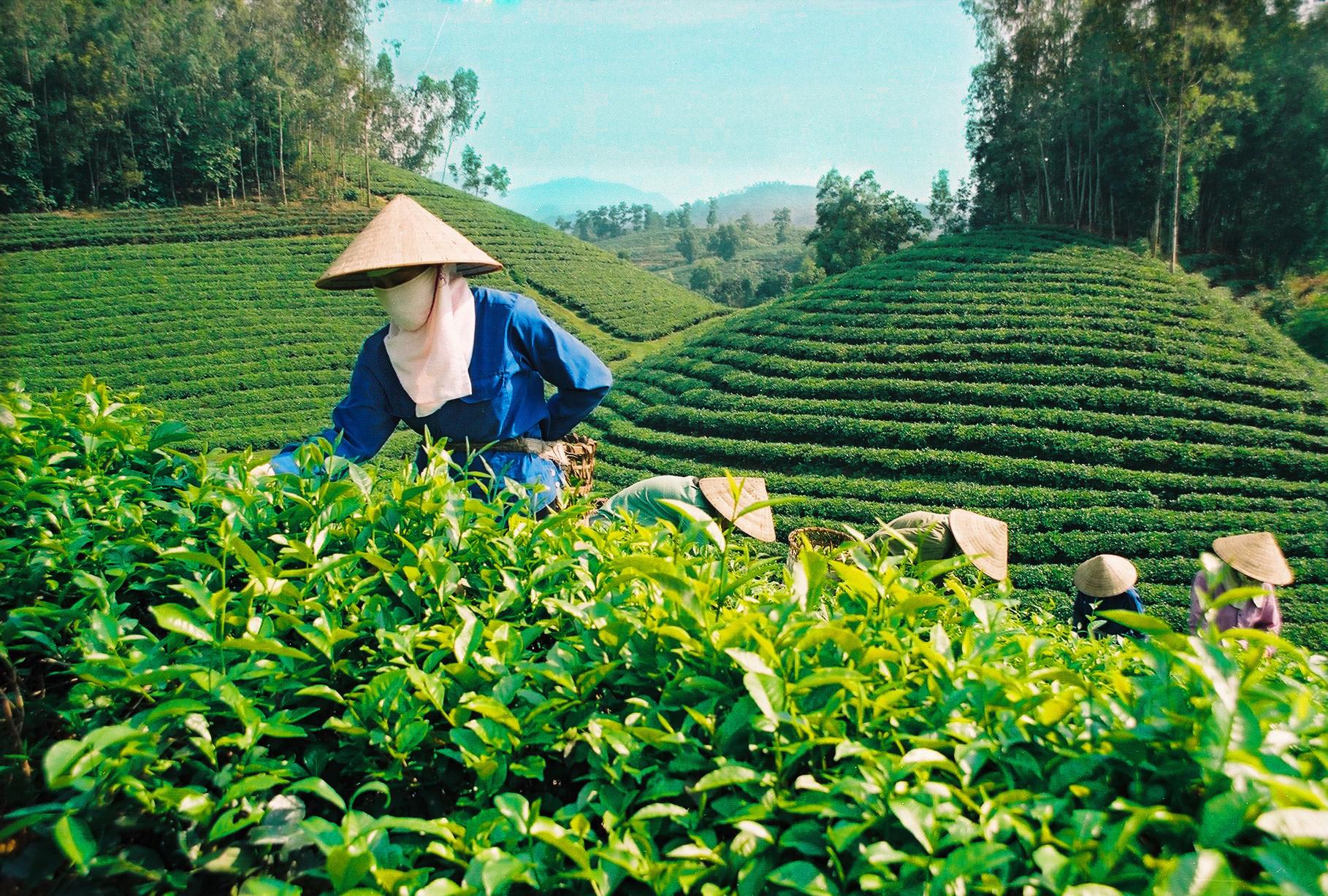 Выращивание зелёный чай 80