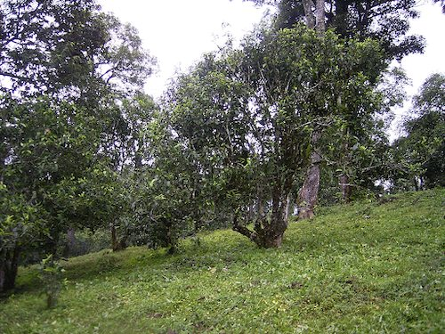 чайные деревья Баньчжан