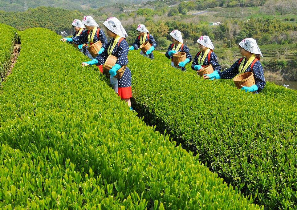 Выращивание зелёный чай 74