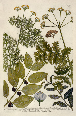 berries, deadly carrot, leaves, thea: tea, Weinmann