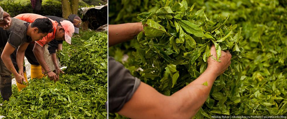 Выращивание зелёный чай 16