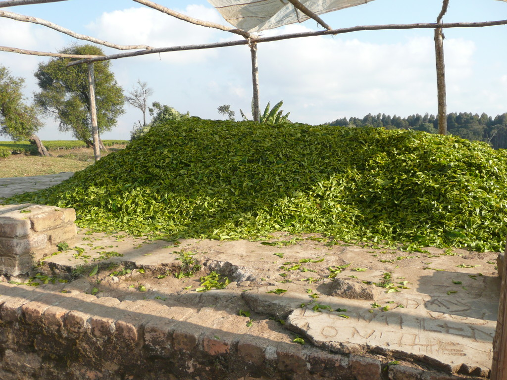 Picked tea ready to be weighed-the pickers receive payment according to how much they have collected.