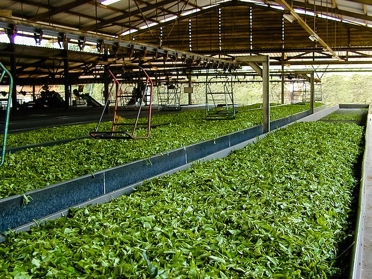 Indonesia, Java, Cisarua. Tea production