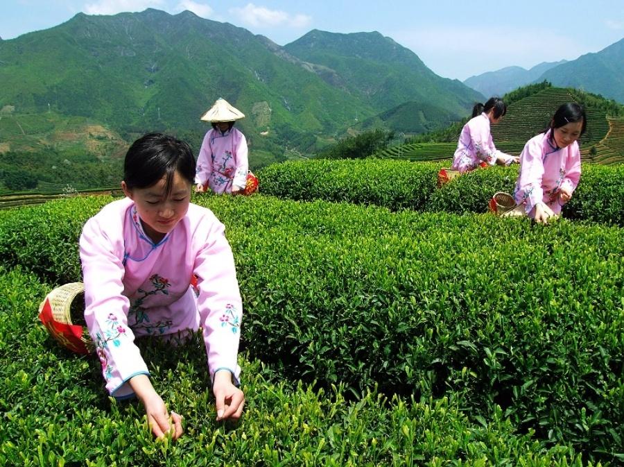 чайные плантации вьетнам