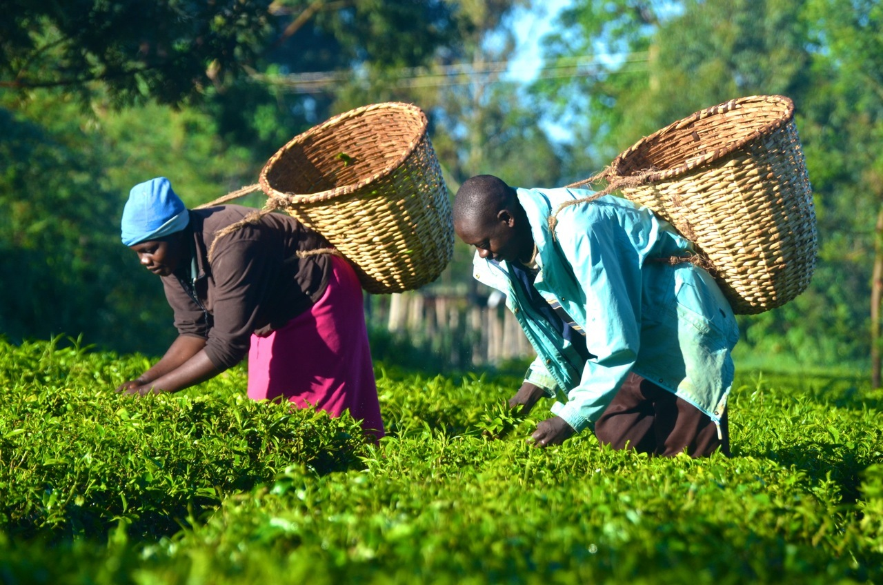 worlds primary tea producer - HD1280×848