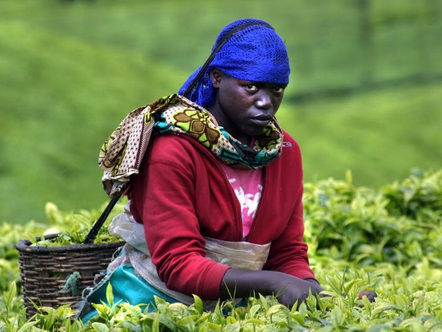 the rwandan tea industry These conditions make rwanda almost perfect for growing teas with full-bodied character reminiscent of top grade kenyans or assams while the country's tea industry was almost wiped out during the rwandan war, many quality estates continue to operate.