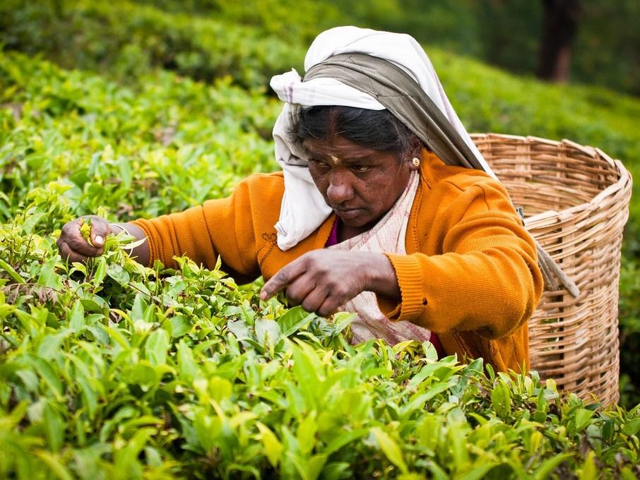 чай картинки как растет чай шерстяные