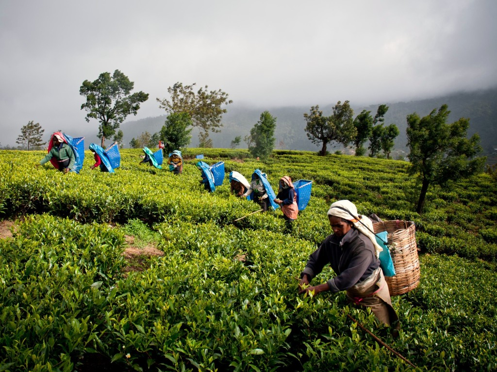 tea feild training in sri lanka