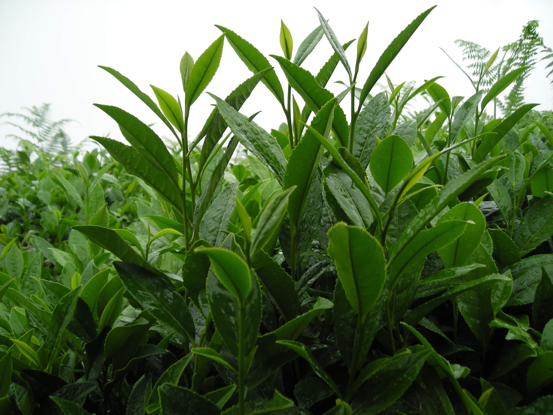 нахапетова картинки чай растет врачи были государственными