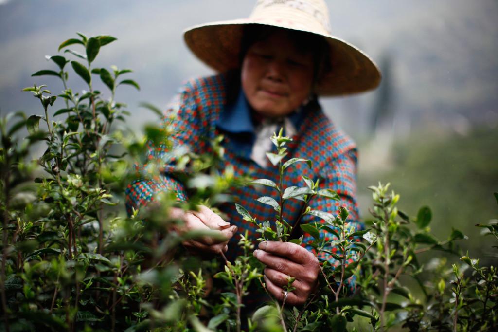 Image: A woman picks tea leaves at a tea plantation in Moganshan