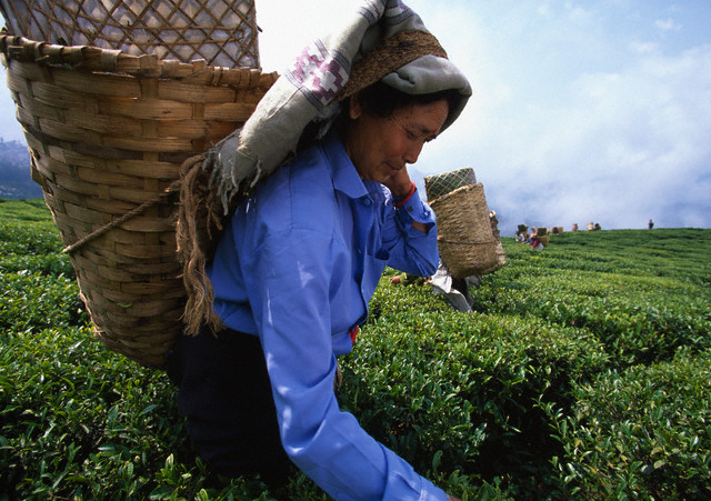Workers at the Happy Valley Tea Plantation