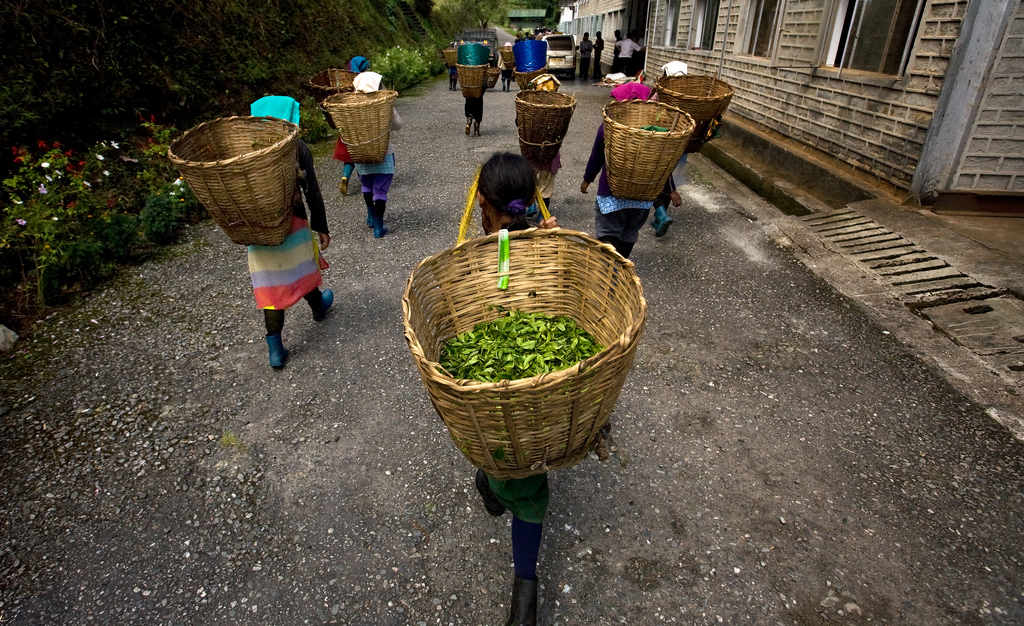 Tea garden labourers returning to the factory with their plucked tea leaves at the organic tea garden of Temi Tea Estate in India's Himalayan state of Sikkim.