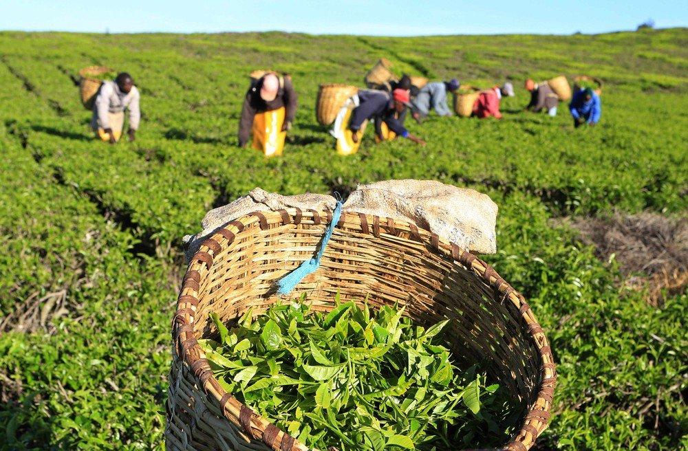 Картинки по запросу фото  на плантациях