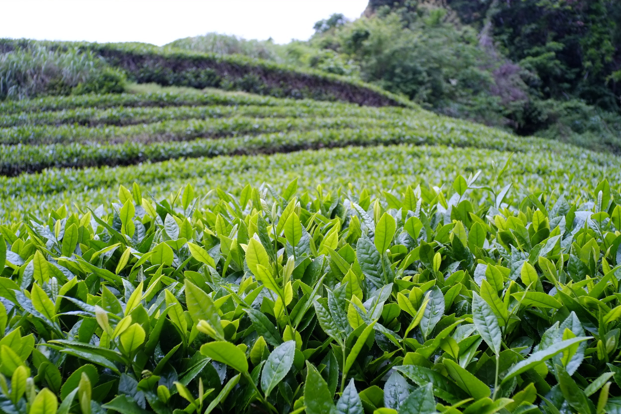 worlds primary tea producer - HD2496×1664
