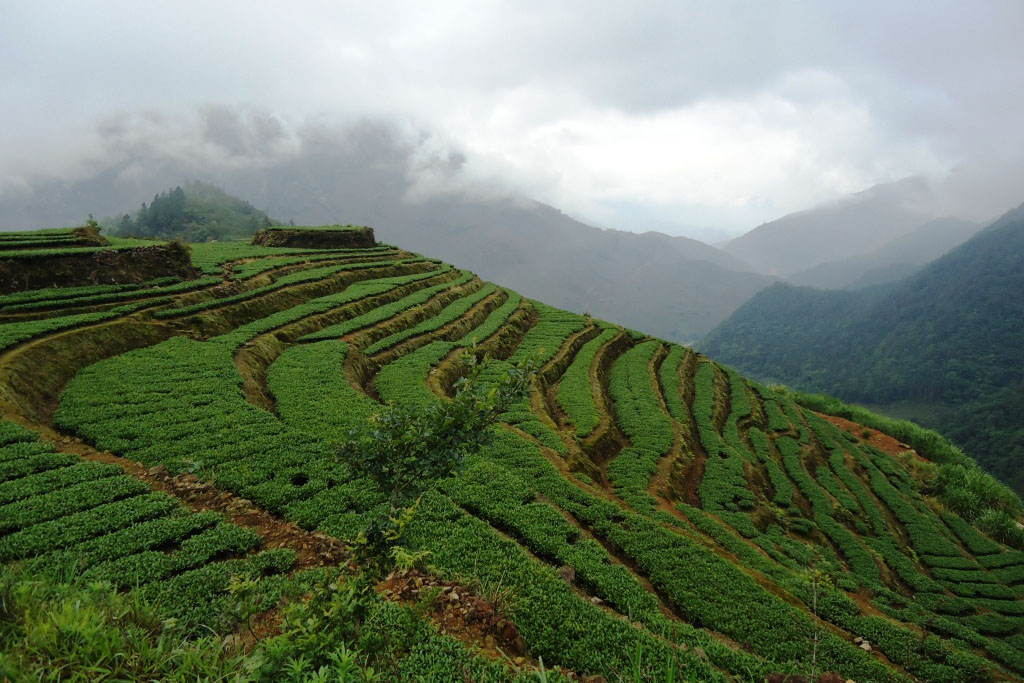 Tea bushes in Anxi