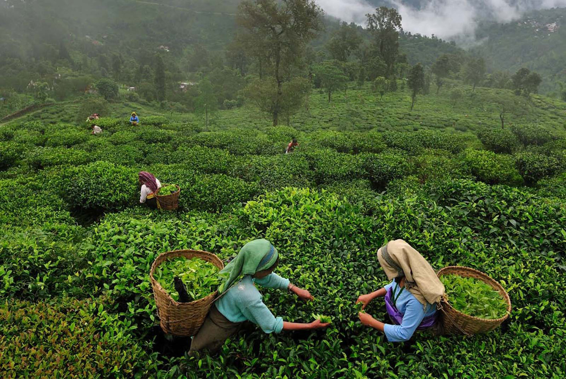 histroy of indian tea essay Want an interesting history essay the muslim conquest of india british people believe tea time to be so significant for their culture that they include.
