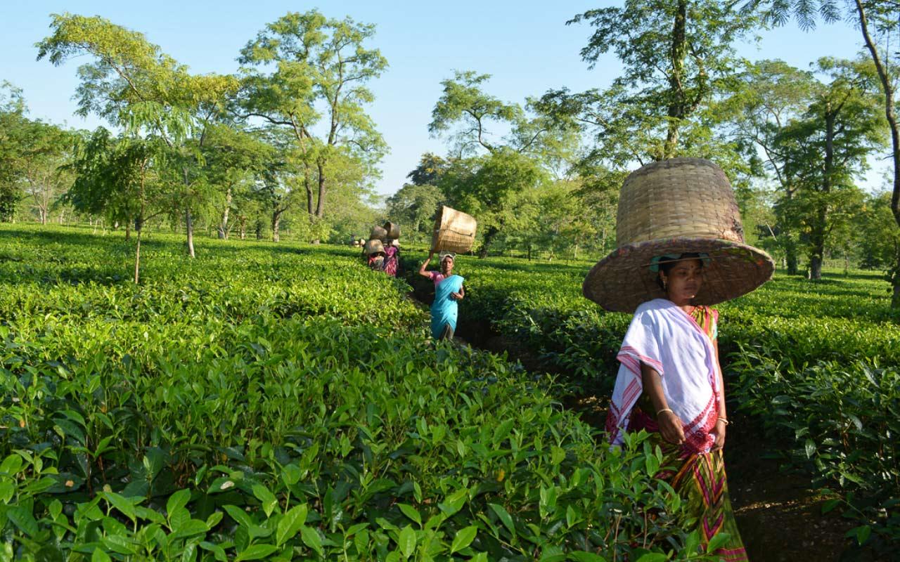 посещение настоящих чайных плантаций фото фото необычный